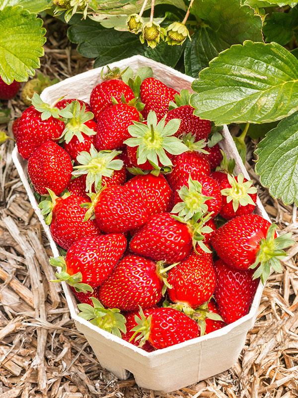 Pflanzzeit Erdbeeren