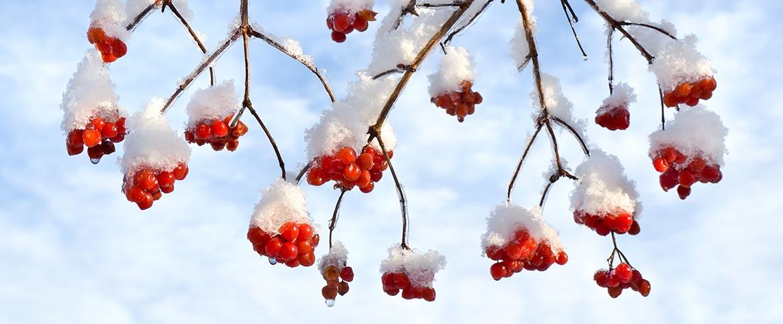 Beeren und Wildobst im Winter