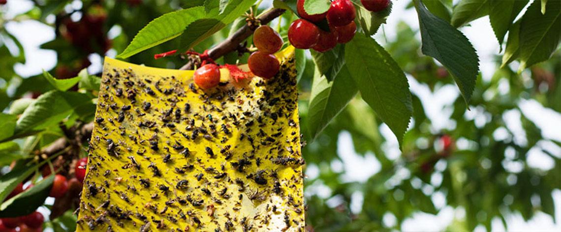 Obstfliegen bekämpfen leicht gemacht