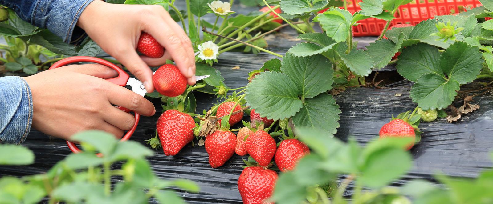 Erdbeeren pflanzen - Was das eigene Beet fürs Klima tut